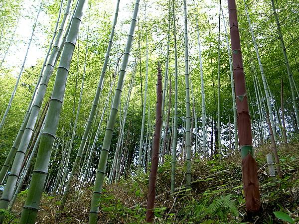 日本唯一虎竹の里の筍