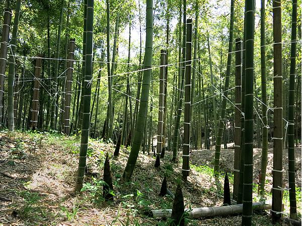 角竹作りの竹林