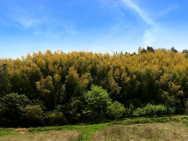竹の秋(黄葉)