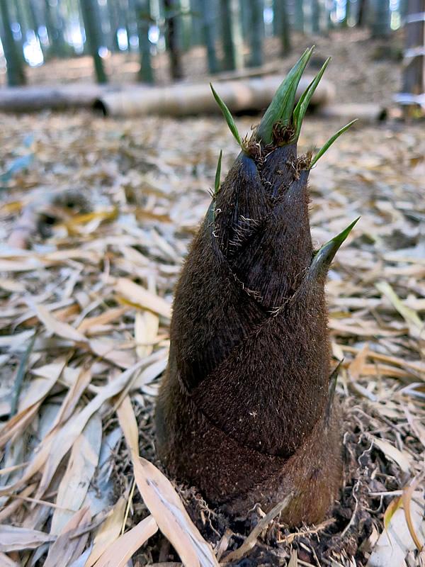 孟宗竹のタケノコ