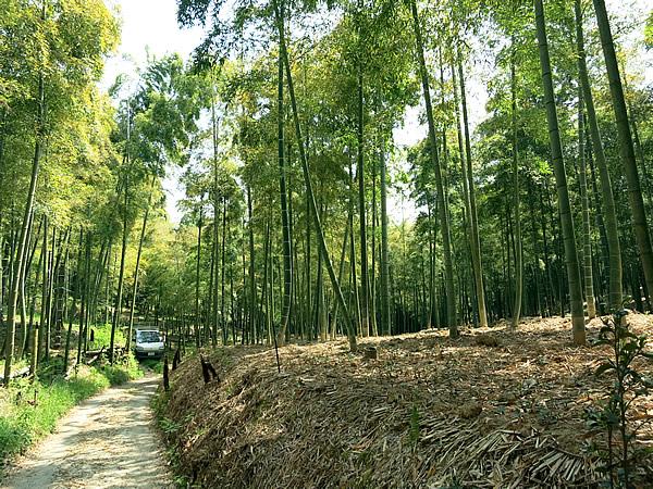 京都の孟宗竹林