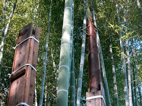 木枠から頭のでる筍