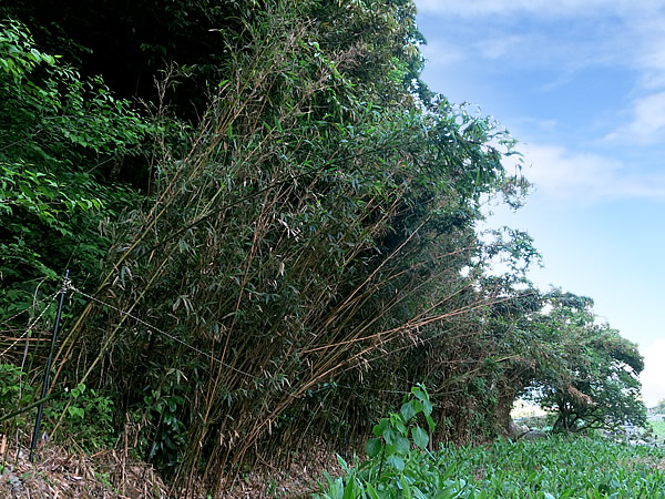 真庭市の虎竹