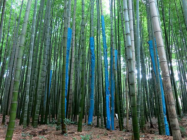 図面竹の竹林