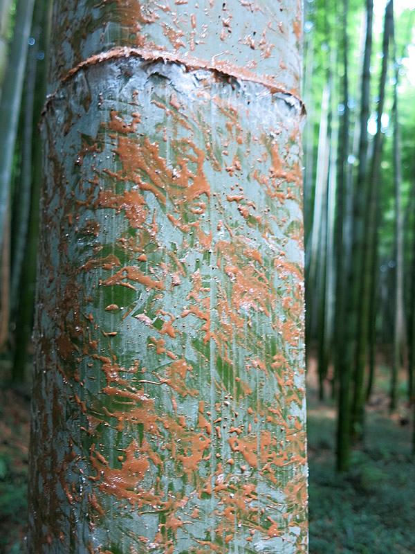 図面竹薬剤塗布