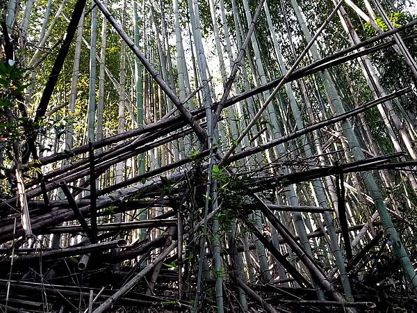 荒廃した真竹林