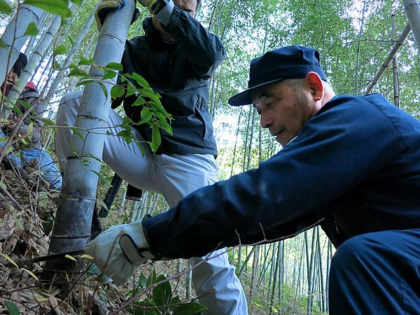 日本唯一の虎竹伐採 Tiger Bamboog