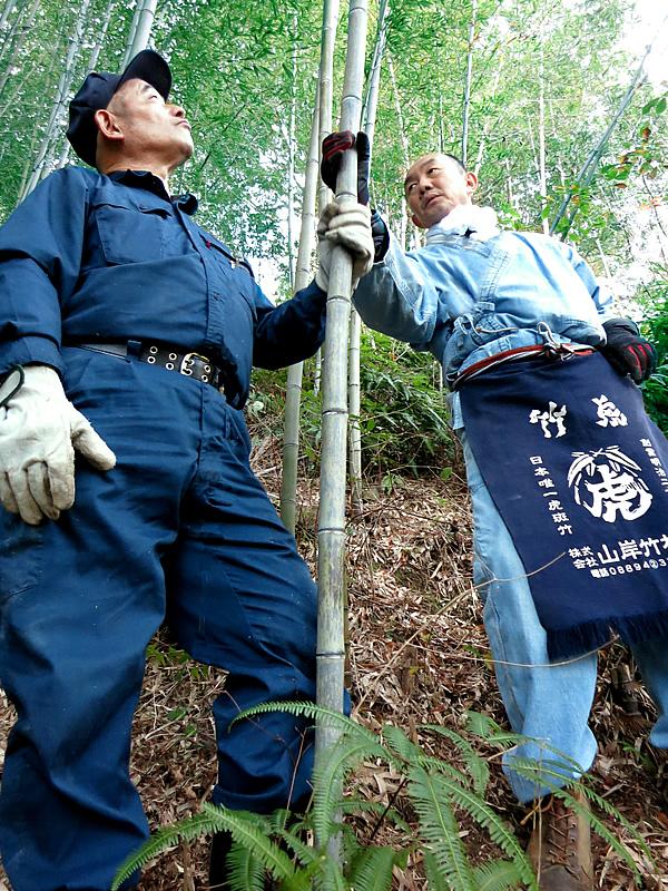 日本唯一の虎竹伐採 Tiger Bamboo
