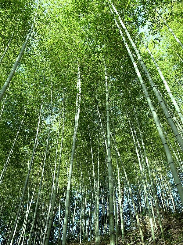 虎竹林(Tiger Bamboo)