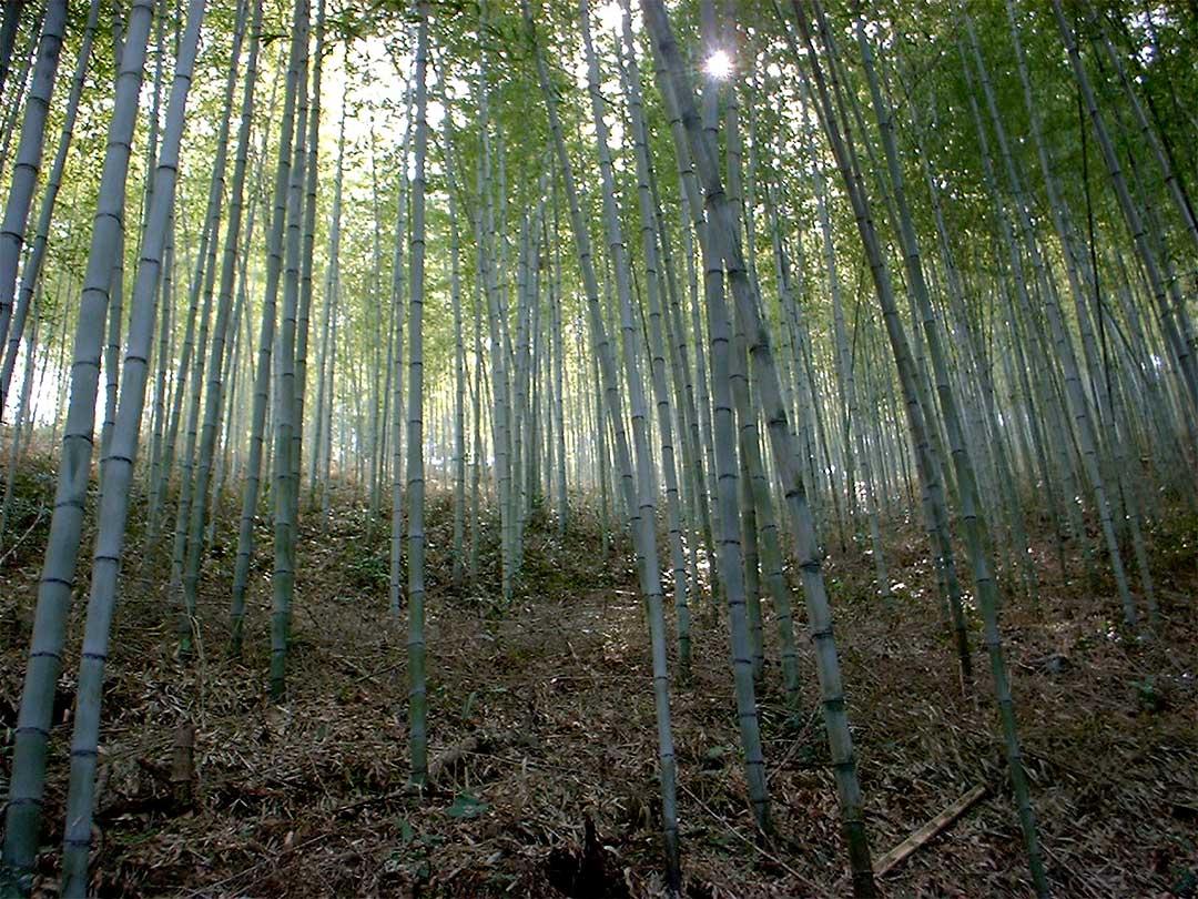日本唯一の虎斑竹