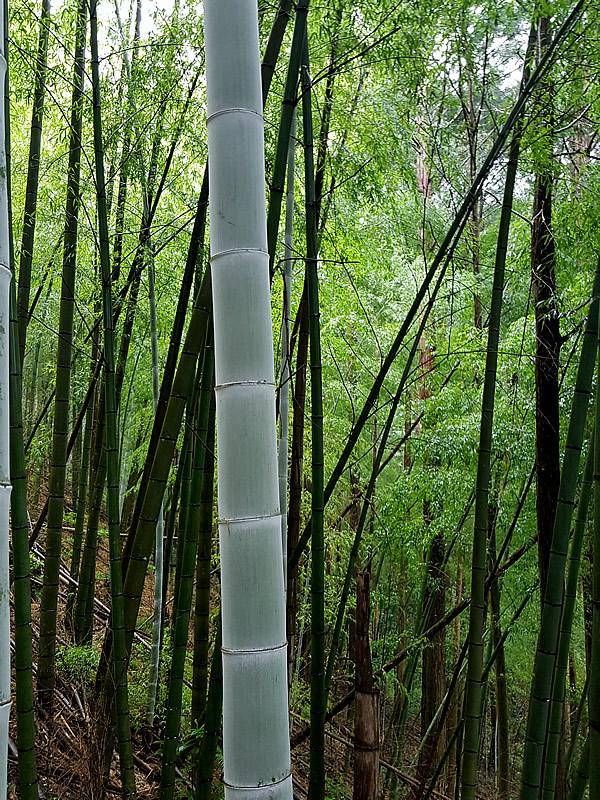 孟宗竹、虎竹の里
