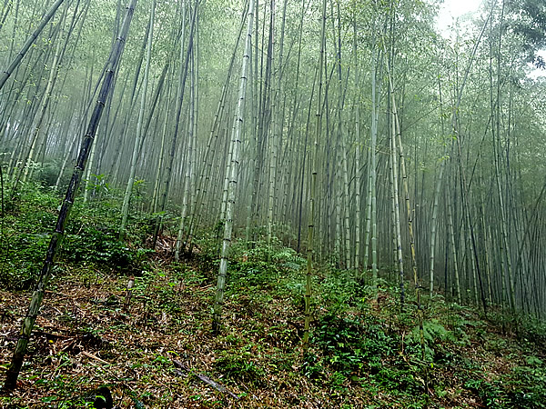 雨の虎竹林