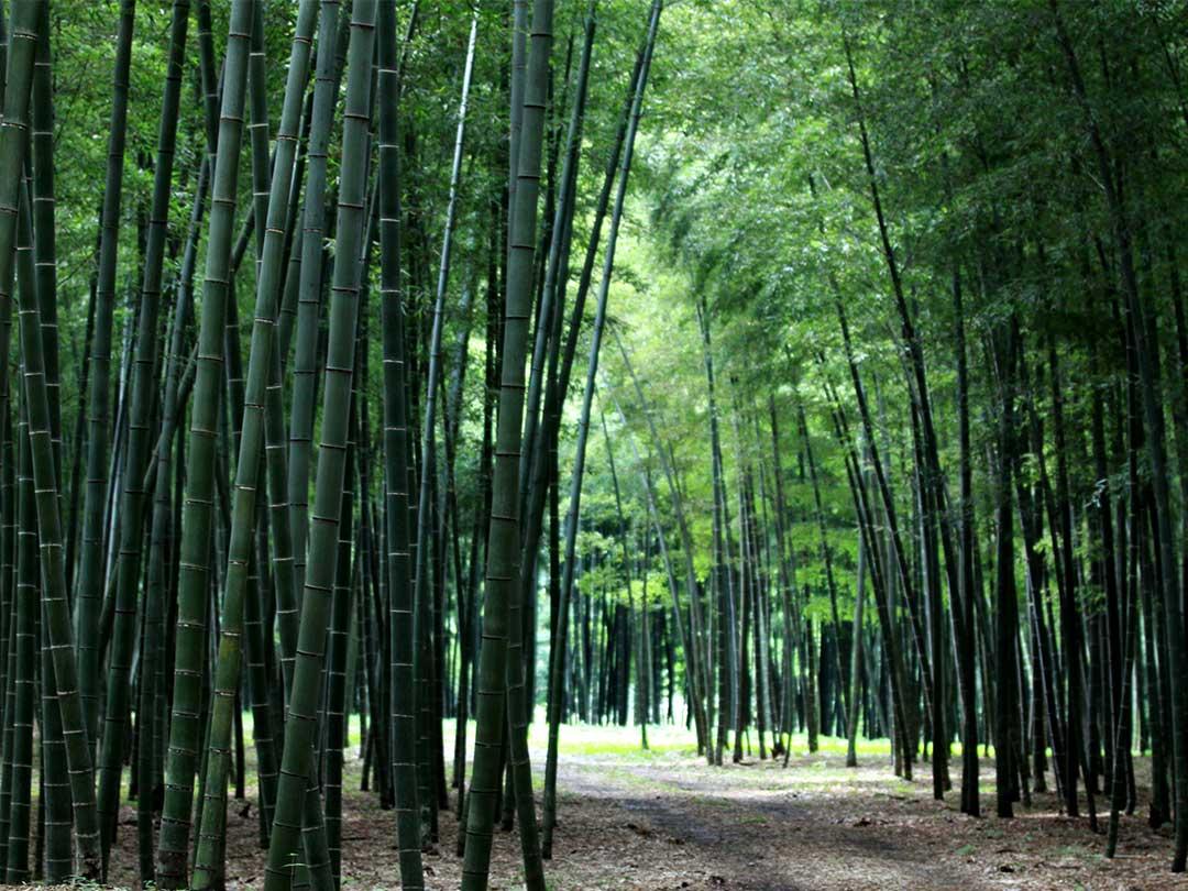 竹林(Bamboo)