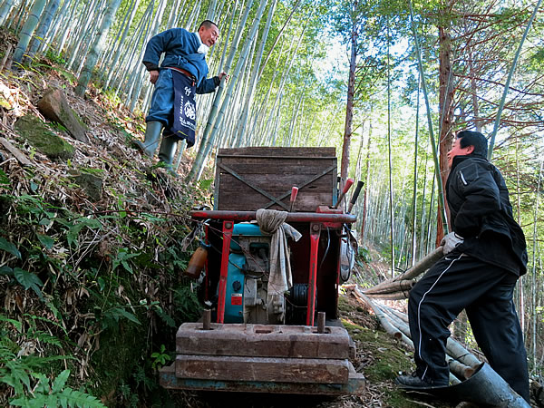 虎竹の伐採