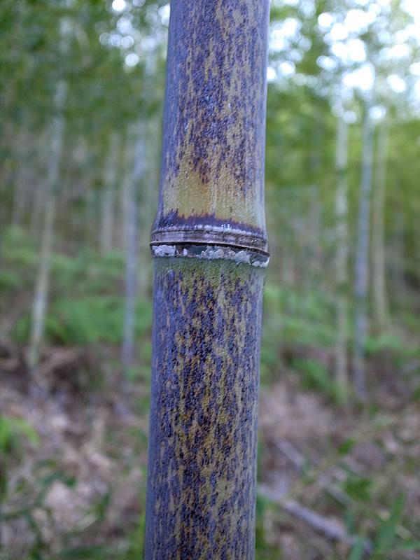虎竹(Tiger Bamboo)