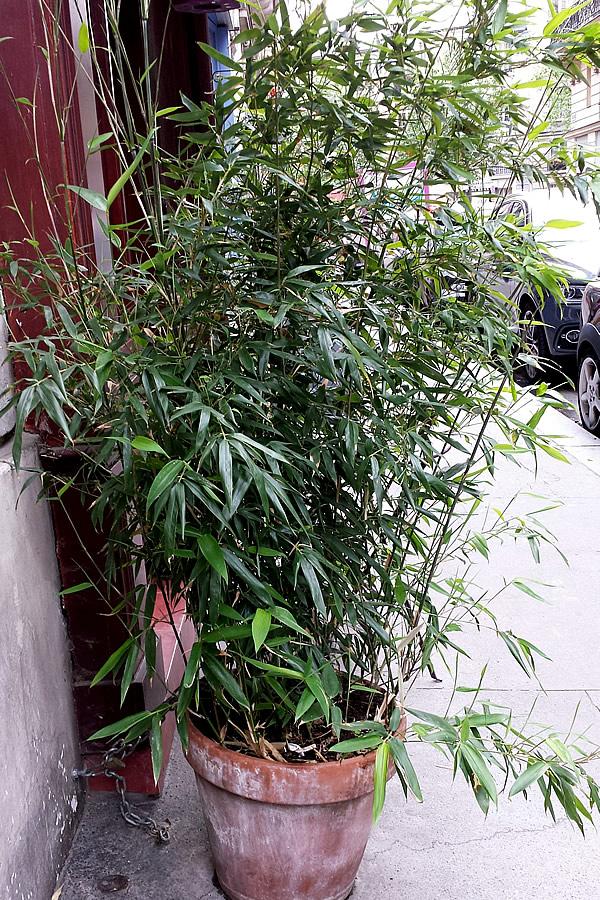 パリ竹の鉢植え