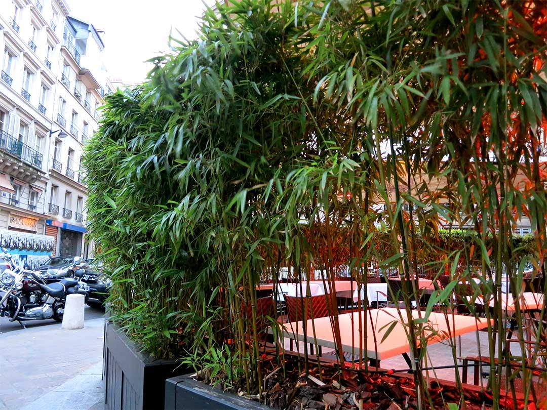 パリの竹植え込み