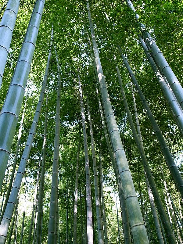孟宗竹、Bamboo