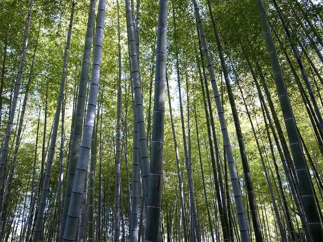 竹、Bamboo
