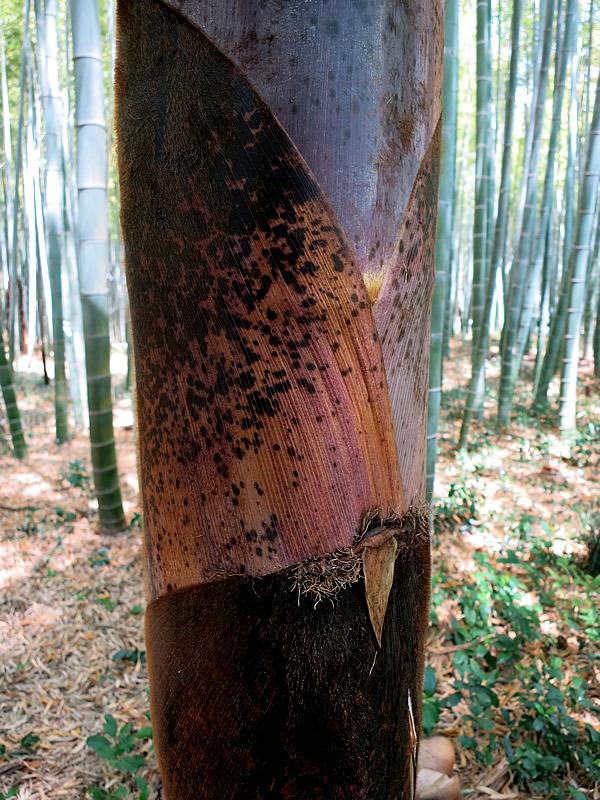 孟宗竹、竹皮