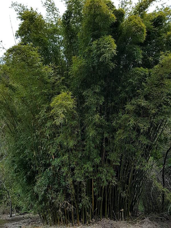 蓬莱竹(ホウライチク)、シンニョウチク