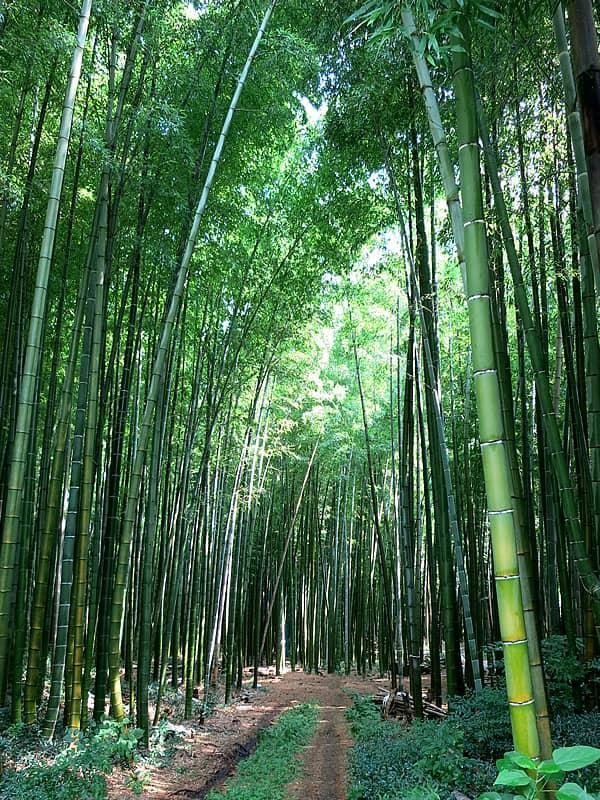 美しい孟宗竹の竹林