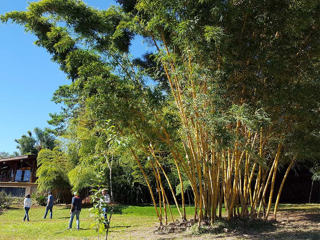 ブラジルJatobas竹農場