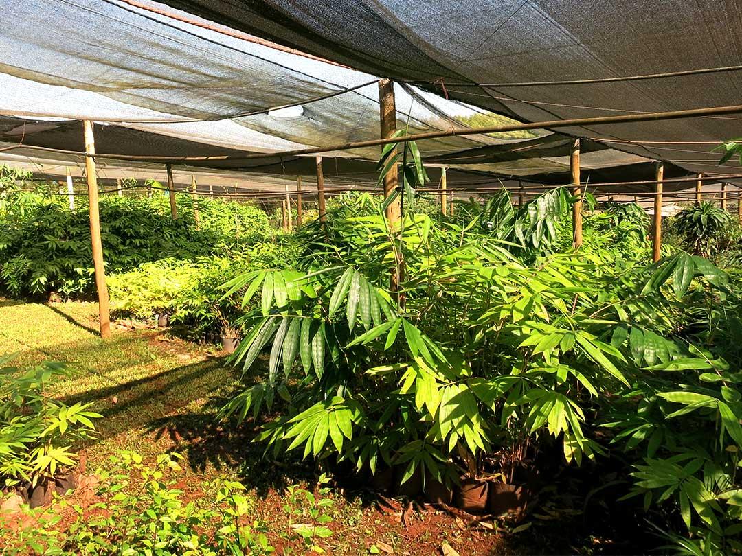 ブラジルJatobas竹農場の竹種苗