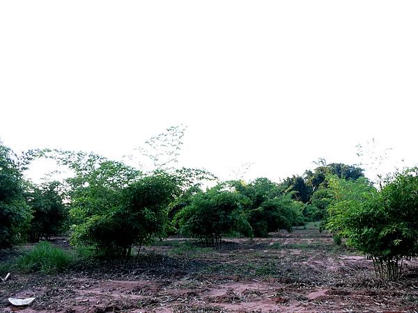 ブラジルの竹