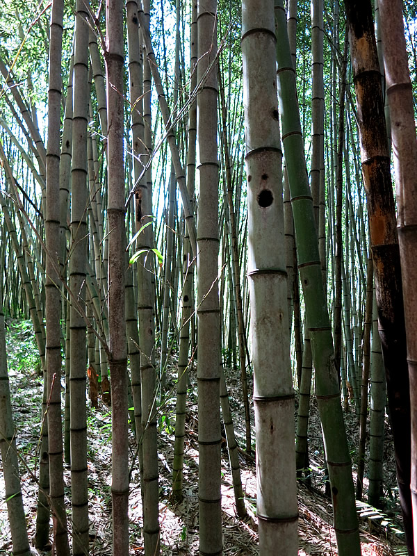 HARADA KOUJIさんのサンパウロ近郊の竹林