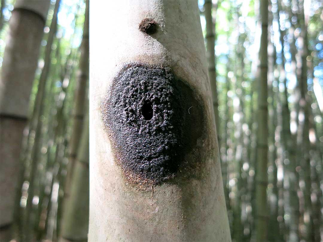 ブラジル、サンパウロの竹の虫による食害g