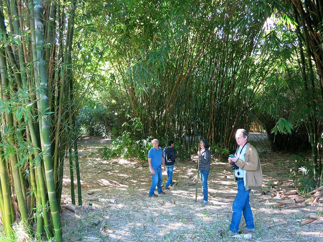 ブラジル、サンパウロ竹農園