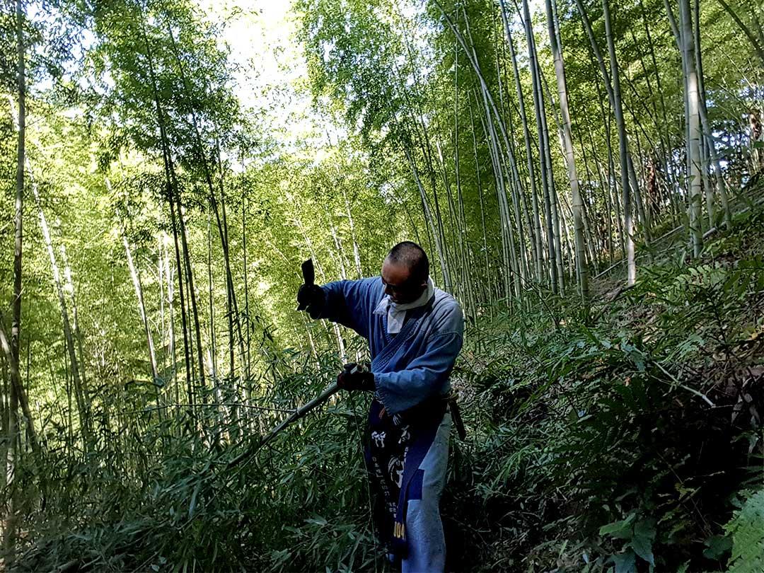 日本唯一虎斑竹(Tiger Bamboo)、竹虎四代目
