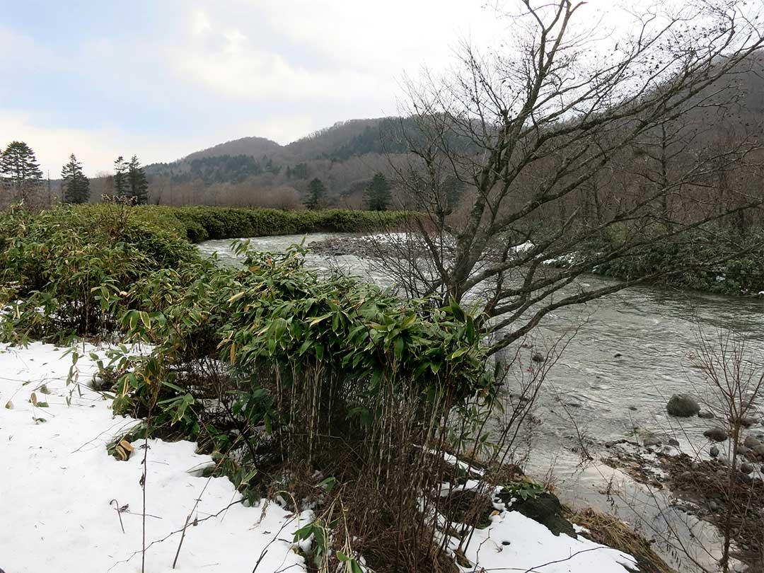 北海道の笹類
