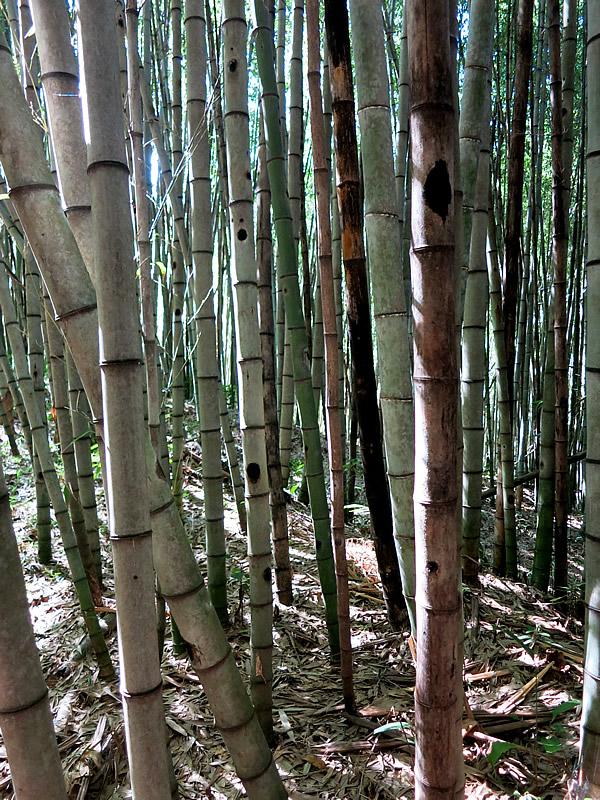 ブラジル・サンパウロの竹林