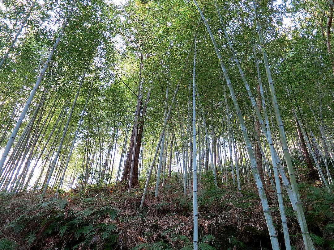 日本唯一の虎竹林