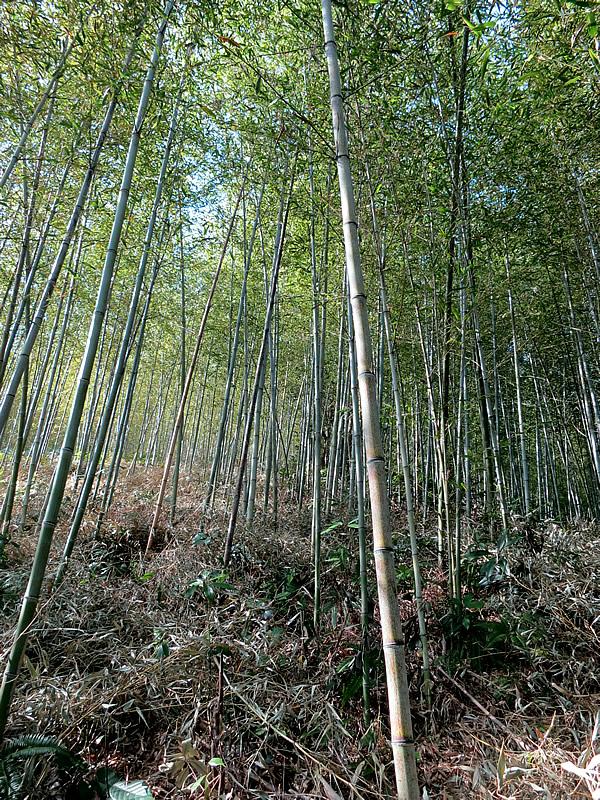日本唯一の虎竹林、Tiger Bamboo