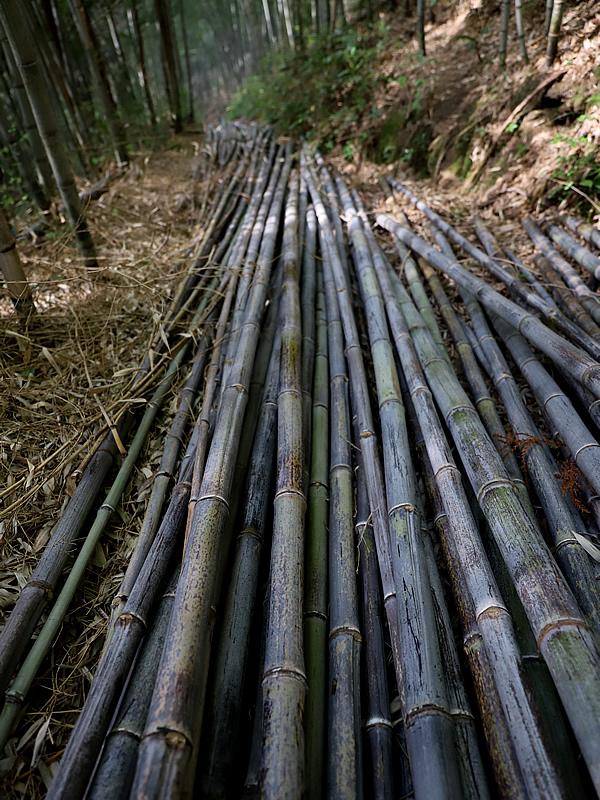 日本唯一の虎竹伐採