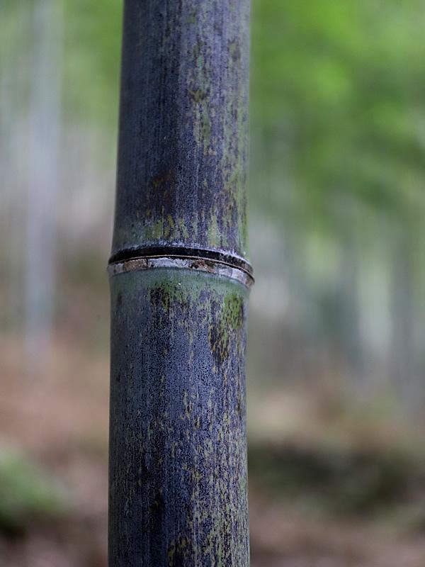虎竹、tiger bamboo