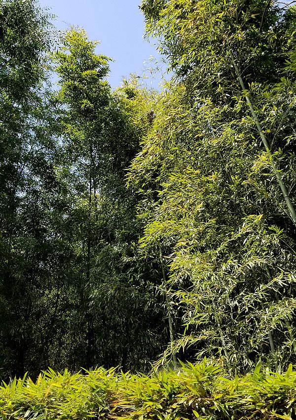 桂離宮の竹林