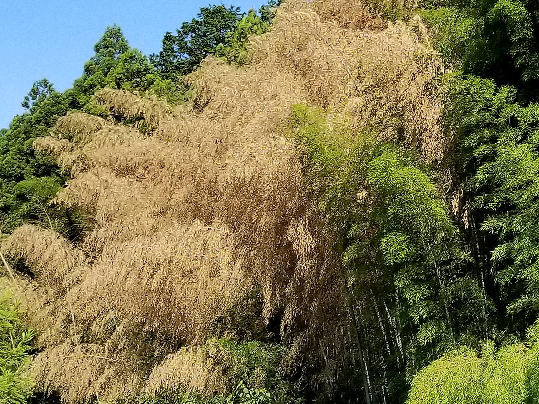 孟宗竹の開花