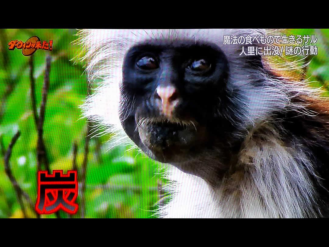 解毒のため炭を食べる猿