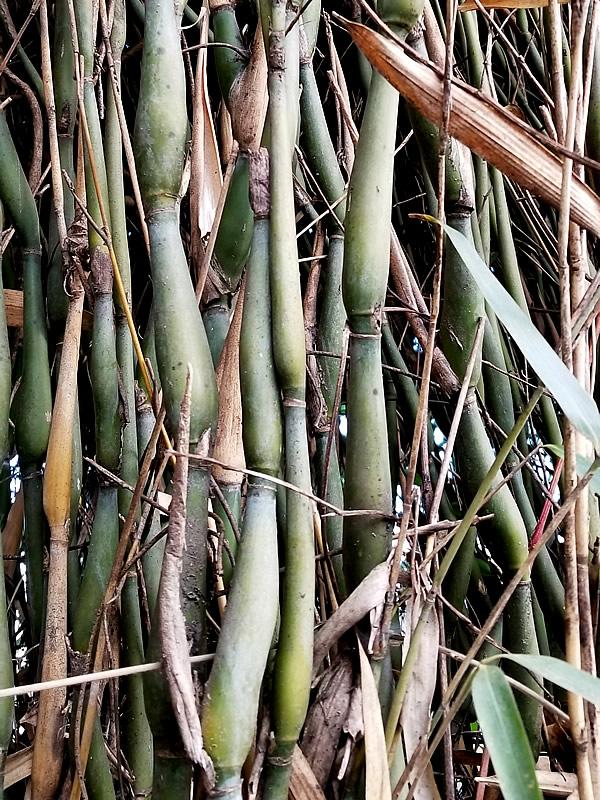 らっきょう竹
