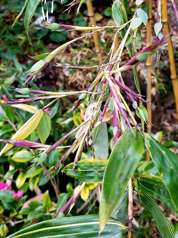 キンメイチク(金明竹)開花