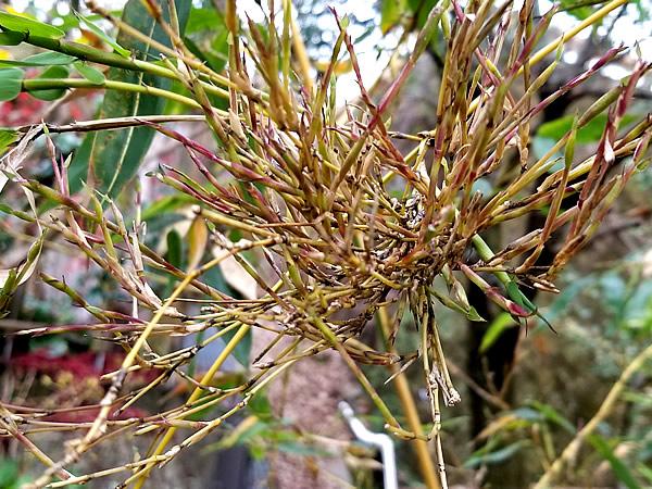 キンメイチク(金明竹)竹の花