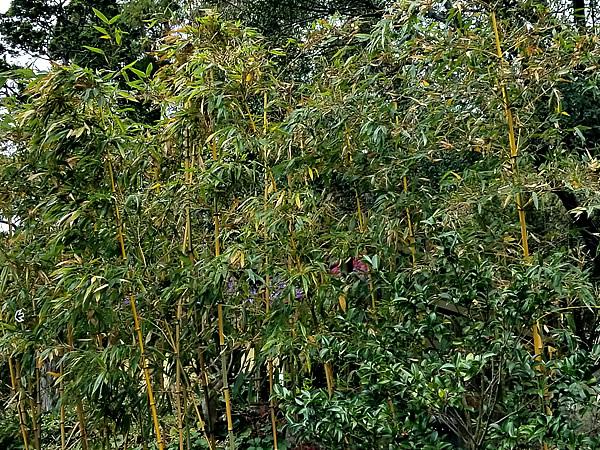 キンメイチク(金明竹)
