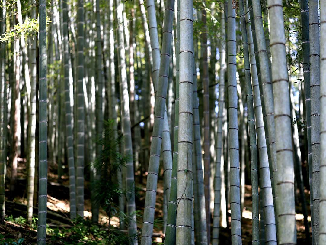 美しい竹林