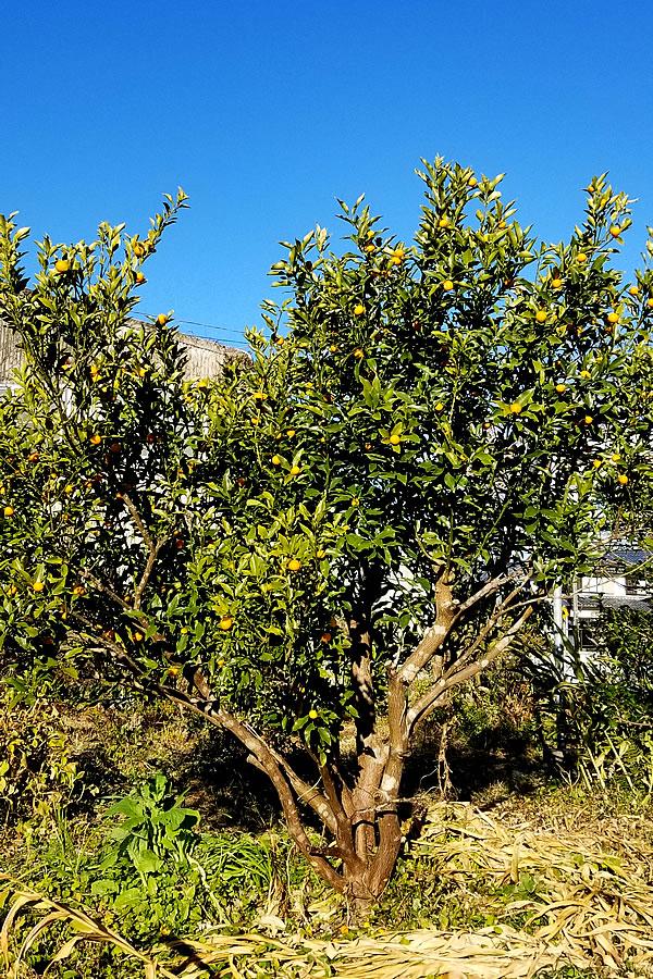 キンカンの木