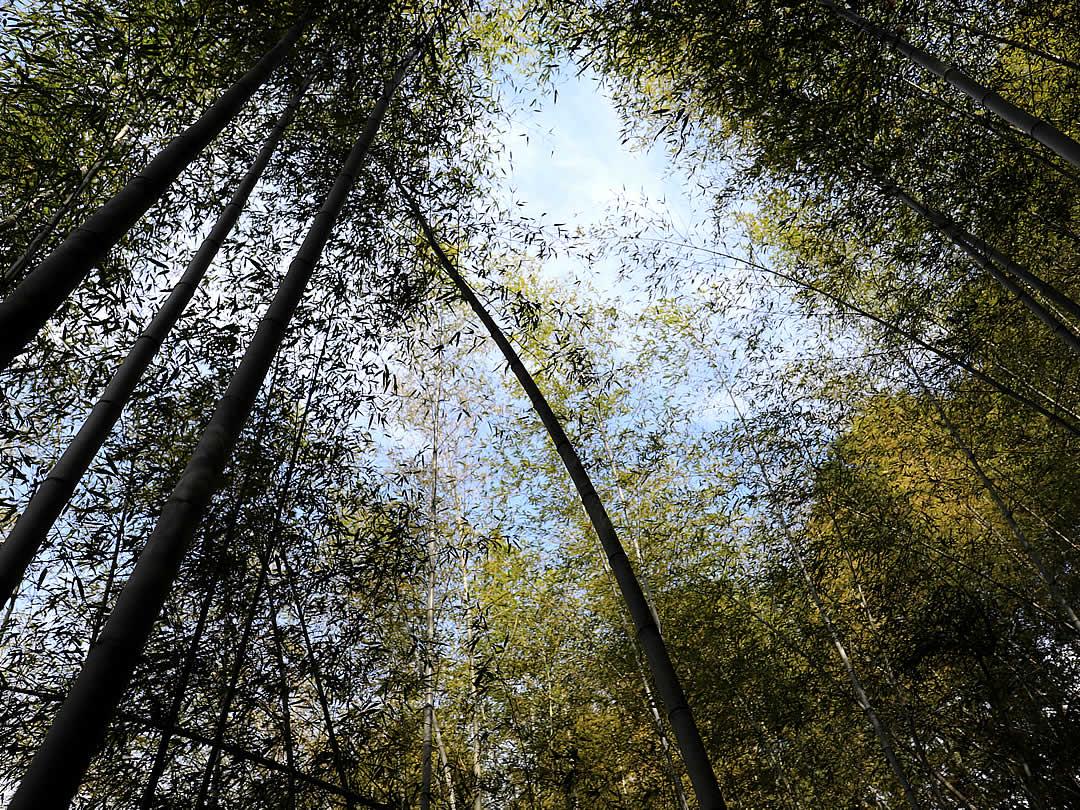 虎竹の里、虎竹の葉