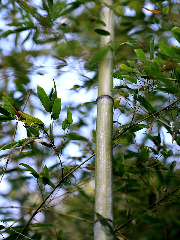 牧野植物園の虎竹